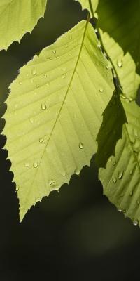 برگ-سبز-شبنم