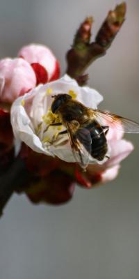 زنبور-حشرات-حشره