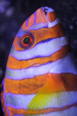 ماهی-نارنجی