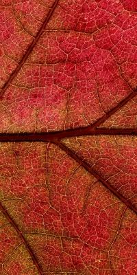 برگ-قرمز