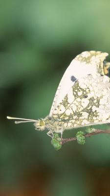 پروانه-شاپرک
