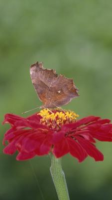 پروانه-گل