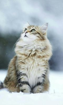 گربه-پیشی