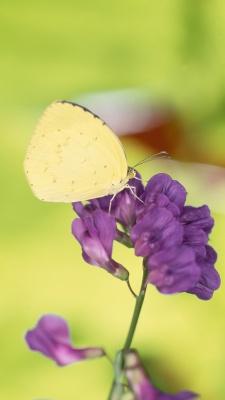 پروانه