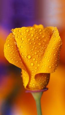زرد-شبنم-گل لاله