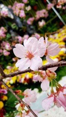 صورتی-شاخه-شکوفه