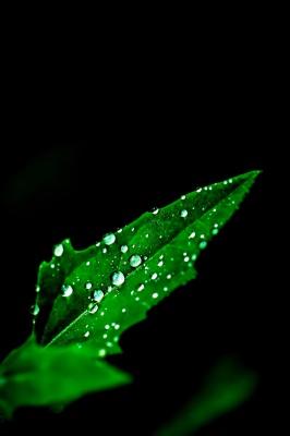 مشکی-برگ-سبز-شبنم