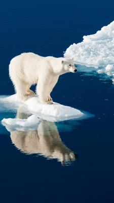 خرس-خرس قطبی-زمستان-برف-سفید-حیوانات-دریا