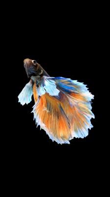 ماهی-مشکی-سیاه