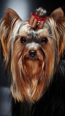 سگ-قهوه ای-توله سگ-سگ عروسکی