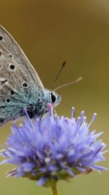 بنفش-شاپرک-پروانه-حشرات