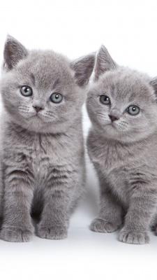 گربه-خاکستری-توسی-دو قلو