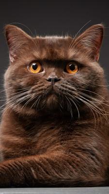 قهوه ای-گربه