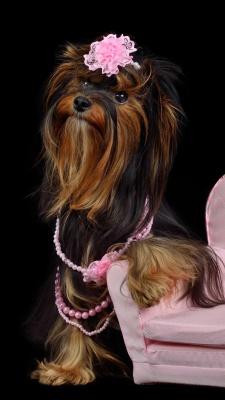 سگ-صورتی-سگ عروسکی-سگ پاکوتاه