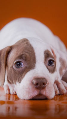 سگ-تنبل-تنبلی-قهوه ای