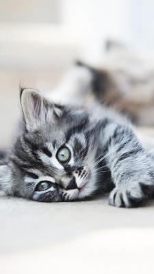 گربه-خاکستری-خسته-تنبل-تنبلی
