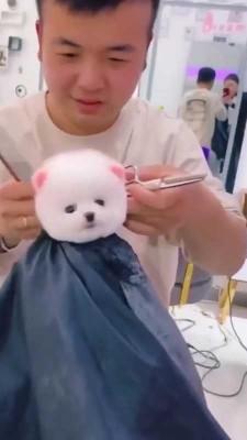 حیوان-سگ-سگ پاکوتاه-آرایشگاه