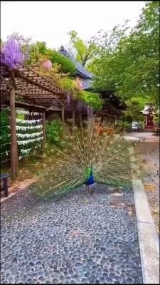 حیوان-طاووس