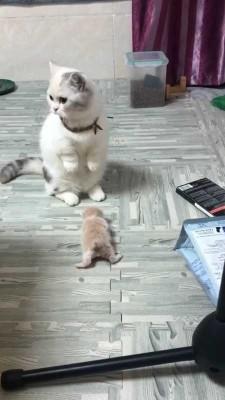 حیوان-گربه