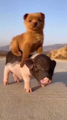 سگ-خوک-حیوان
